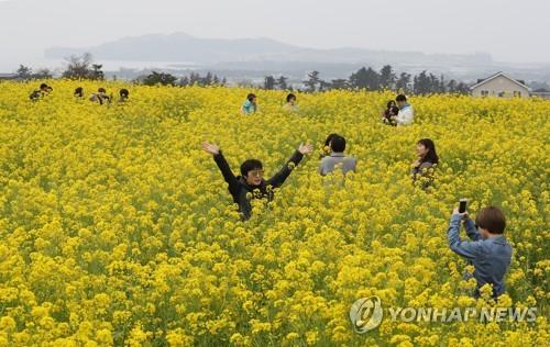 春は菜の花畑を楽しみに済州島を訪れる人も多い=済州(聯合ニュース)