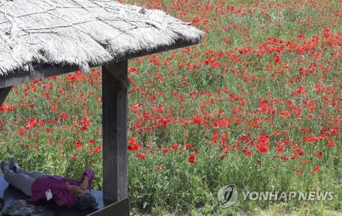 꽃양귀비 옆 휴식[연합뉴스 자료사진]