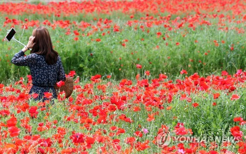 경남 하동군 북천면 꽃양귀비[연합뉴스 자료사진]