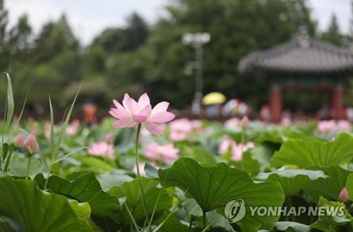 연꽃축제 [연합뉴스 자료사진]