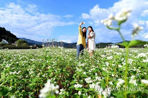 메밀꽃밭 찾은 관광객 [연합뉴스 자료사진]