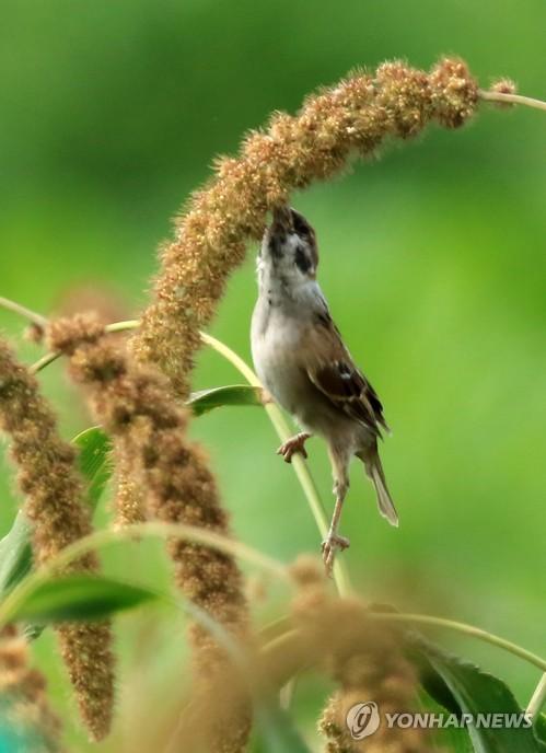 麻雀踮脚立枝头