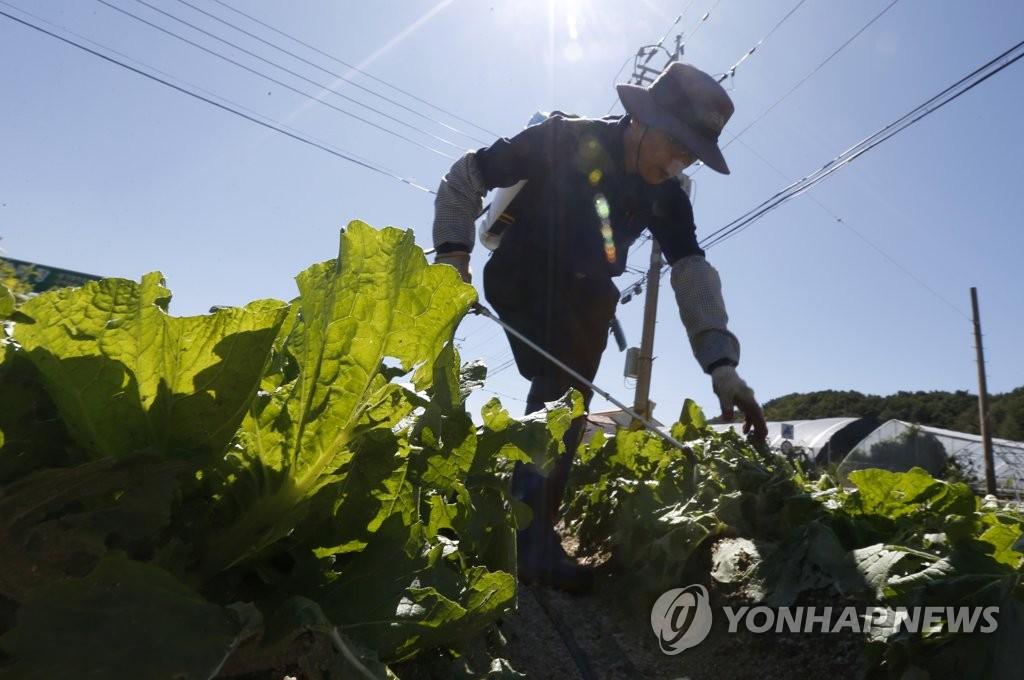 병든 배추밭 [연합뉴스 자료사진]