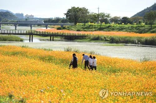 장성 황룡강변 꽃들의 향연