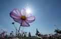 阳光下的波斯菊