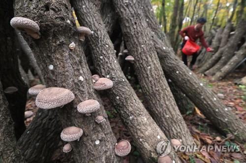임금님께 진상한 한라산 표고버섯