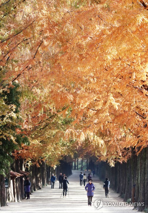 Metasequoia trees amid autumn foliage