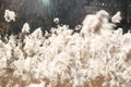 Reeds sway in wind