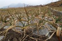 4대강 보 개방으로 농작물 성장 악영향