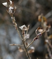 Catkins appear on willows in Seoul
