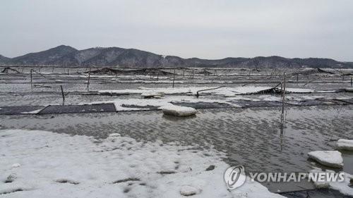 얼음 밭으로 변한 장봉도 김 양식장 [인천시 옹진군 제공=연합뉴스]