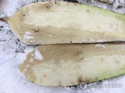 한파에 얼어버린 월동무