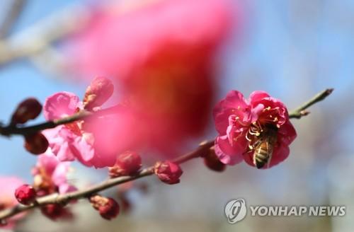 [#꿀잼여행] 호남권: 시나브로 벌써 봄…꽃망울 터뜨린 남도의 '홍매화'