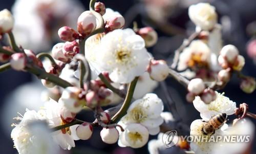 남녘은 봄 도착
