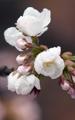 桜の名所でつぼみ開く