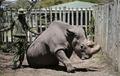마지막 '북부 흰코뿔소' 수컷 죽어…멸종 수순