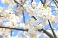 済州島の桜が開花