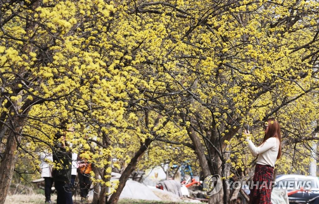 산수유와 함께하는 봄