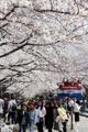 桜祭り あす前夜祭