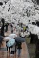 桜の下に傘の花