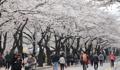 Festival de flores de cerezo