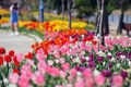Tulipes en floraison