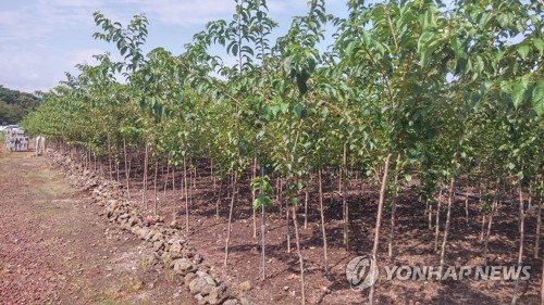 천연기념물 제주 왕벚나무 순수혈통 후계목