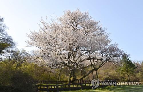 화사한 천연기념물 제주 왕벚나무