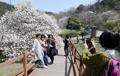 Fleurs de magnolia