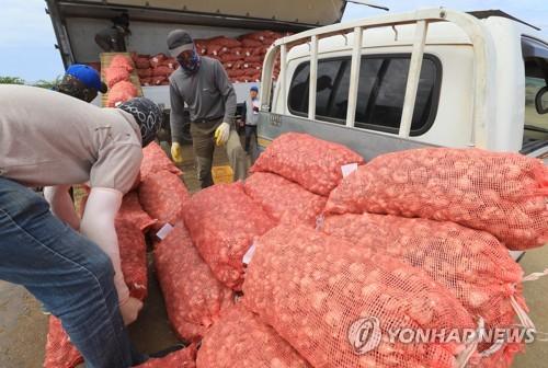 제주 대정읍에 마늘 종자 생산기반 구축…연간 150만구 생산