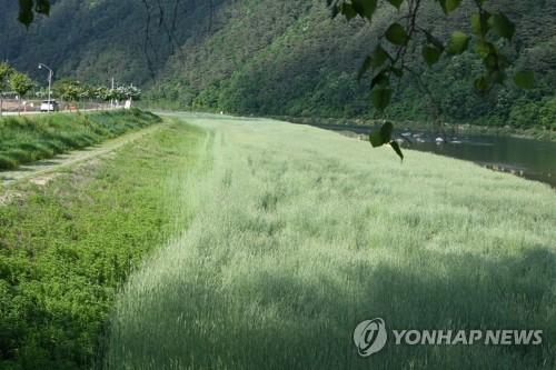 보리밭을 걸어보세요…평창강변 수채화 같은 풍경 연출