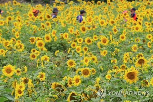 제주의 해바라기 꽃밭[연합뉴스 자료사진]