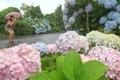 雨中绣球花