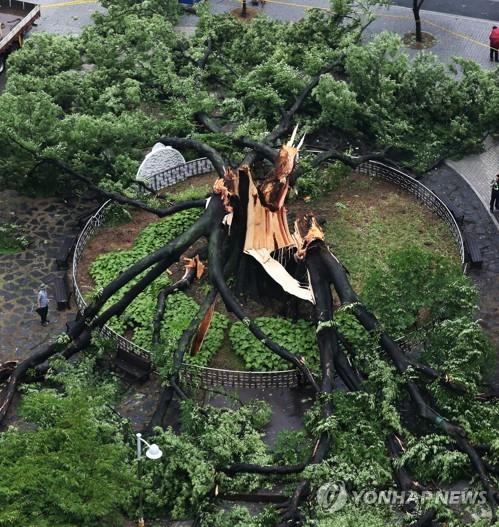 처참하게 부러진 수령 500년 느티나무