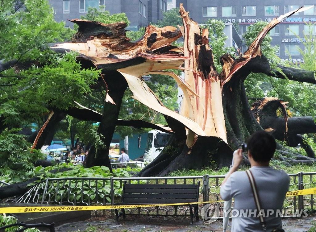 비바람에 쓰러진 500년 된 느티나무