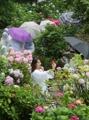 梅雨彩るアジサイの花