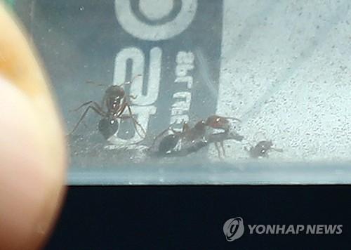 인천에서 발견된 붉은불개미