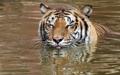 Un tigre en été