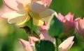 ハスの花で日よけ