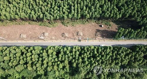 파괴된 제주 삼나무숲