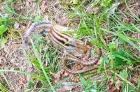 설악산 다람쥐-누룩뱀 대결은?…다람쥐 승
