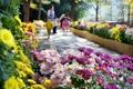 散歩道 菊に彩られ