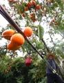Persimmon harvesting