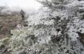 漢拏山に樹氷