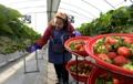 Cueillette de fraises d'hiver