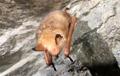 Golden bat found in Inje