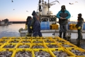 Port hums with squid catch