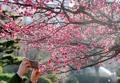 Abricotiers rouges en fleurs
