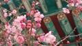Abricotiers rouges dans un temple
