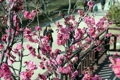 釜山で紅梅開花